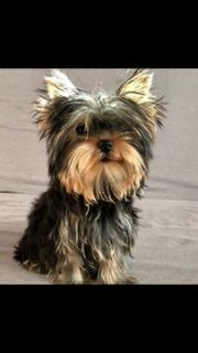 Yorkshire Terrier PUPPY FOR SALE ADN-77586 - Super playful little yorkie boy
