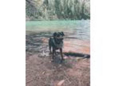Adopt Kowboy a Black - with Tan, Yellow or Fawn Hound (Unknown Type) / Labrador