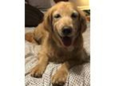 Adopt Emma a Red/Golden/Orange/Chestnut Golden Retriever / Mixed dog in New