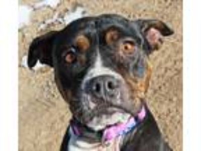 Adopt Miss Hope a American Staffordshire Terrier