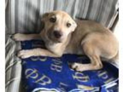 Adopt Gilda (Fostered in TN) a Tan/Yellow/Fawn - with Black Hound (Unknown Type)