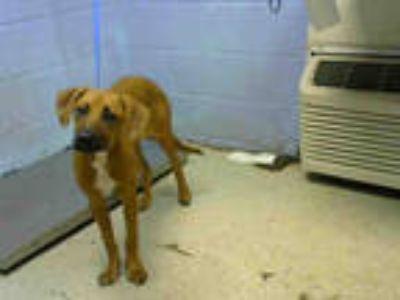 Adopt PERSEPHONE a Brown/Chocolate Redbone Coonhound / Labrador Retriever /