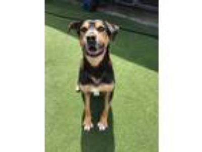 Adopt Donut a Black - with Tan, Yellow or Fawn Shepherd (Unknown Type) / Mixed