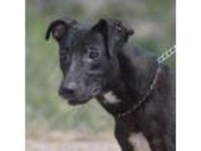 Adopt Savannah-83032 a Shepherd
