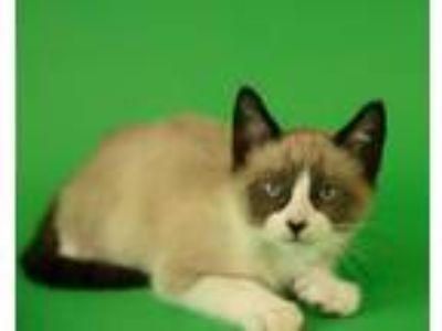 Adopt Disco a Siamese, Domestic Short Hair