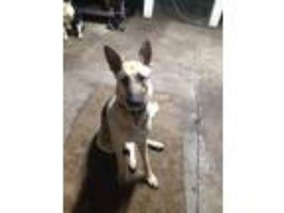 Adopt Roxy a Black - with Tan, Yellow or Fawn German Shepherd Dog dog in Phenix