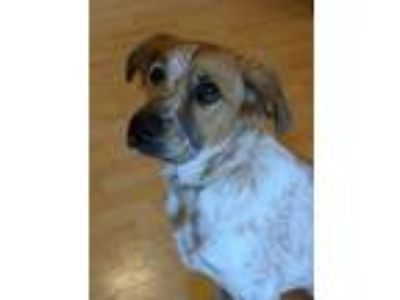 Adopt Mary Kate *foster needed starting 7/13* a Brittany Spaniel, Cattle Dog