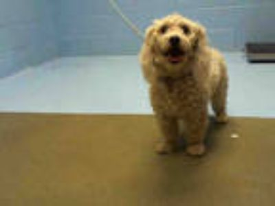 Adopt a White Poodle (Miniature) / Mixed dog in Moreno Valley, CA (25330711)