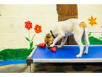 Adopt SuzyQ a White - with Tan, Yellow or Fawn Terrier (Unknown Type