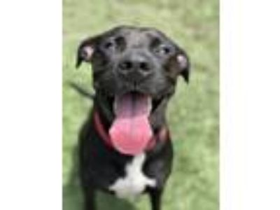 Adopt Royal a Labrador Retriever, Pit Bull Terrier
