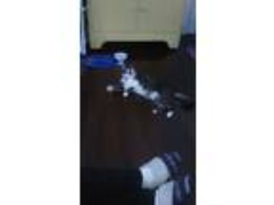 Adopt Ikey a Gray, Blue or Silver Tabby American Shorthair / Mixed cat in