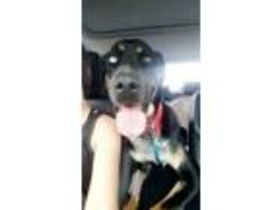 Adopt Bluto a Black - with Gray or Silver Rottweiler / Bluetick Coonhound /