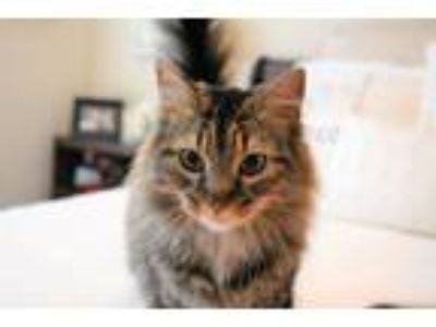 Adopt Molly *Bonded Pair* - Athens, GA a Maine Coon, Domestic Long Hair