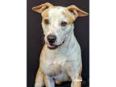 Adopt Turbo a White - with Tan, Yellow or Fawn Terrier (Unknown Type