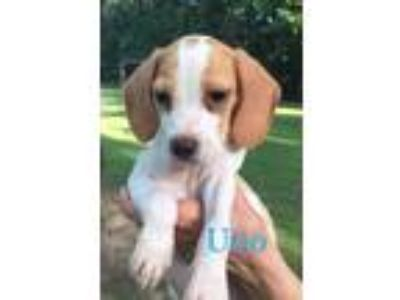 Adopt Uno a Brown/Chocolate - with White Beagle / Mixed dog in Jetersville