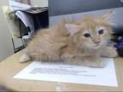 Adopt a Orange or Red Tabby Domestic Longhair / Mixed (long coat) cat in