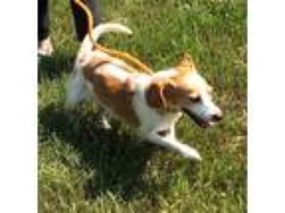 Adopt Halo a White - with Tan, Yellow or Fawn Beagle / Mixed dog in Newberry