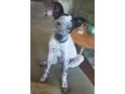 Adopt Guppy a Australian Cattle Dog / Blue Heeler