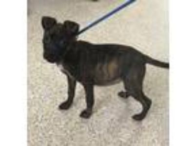 Adopt JUNIPER a Brindle Terrier (Unknown Type, Small) / Mixed dog in Houston