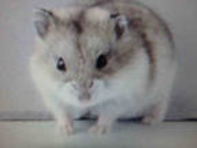 Adopt A-A a Tan or Beige Hamster / Mixed small animal in Chatsworth