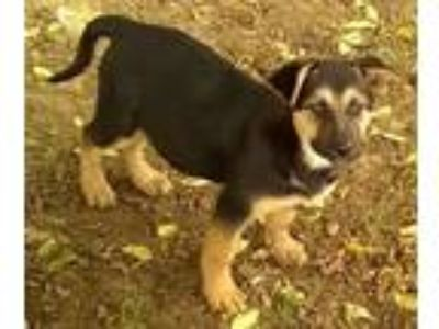 Adopt Shepard mix and Border Collie mix Puppies a Shepherd, Border Collie