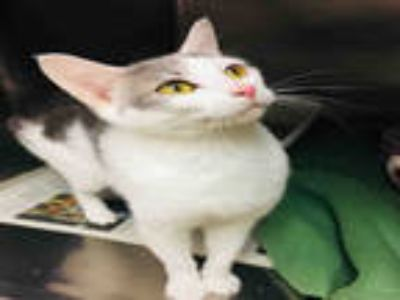 Adopt ALMOND a White (Mostly) Domestic Shorthair / Mixed (short coat) cat in