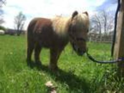 Adopt Cotton a Miniature Horse