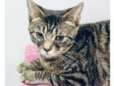 Adopt Baklava a Domestic Short Hair