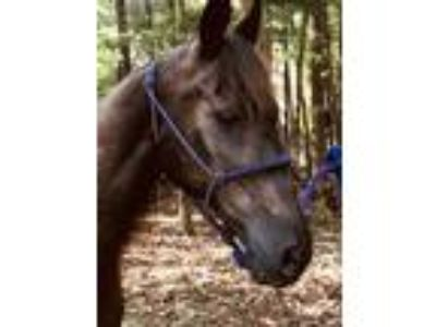 Adopt Willow a Tennessee Walker