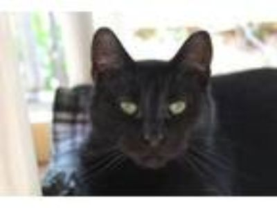 Adopt Precious a Domestic Short Hair