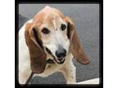 Adopt Peggy a Tricolor (Tan/Brown & Black & White) Basset Hound / Mixed dog in