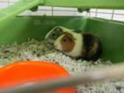 Adopt Cuddles a Brown or Chocolate Guinea Pig / Guinea Pig / Mixed small animal