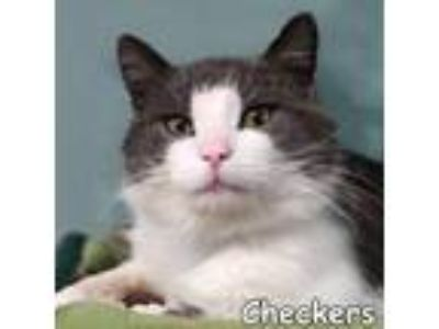 Adopt Checkers a Gray or Blue (Mostly) Domestic Shorthair / Mixed (short coat)