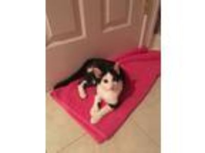 Adopt CP - NC - Marble a Domestic Short Hair