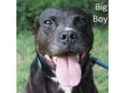 Adopt Big Boy a Black Boxer / Labrador Retriever / Mixed dog in Tahlequah