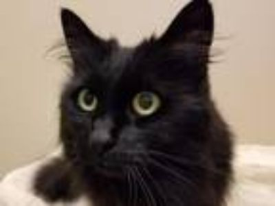 Adopt COCO a Domestic Long Hair