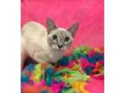 Adopt Cleo a Cream or Ivory Siamese / Mixed cat in Bauxite, AR (25573141)
