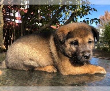 Shiba Inu Puppies Clifieds Claz Org