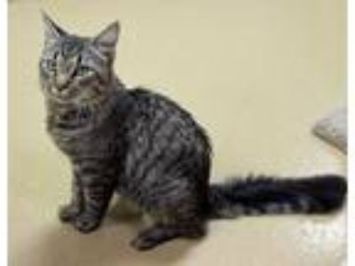 Adopt Odin a Domestic Short Hair