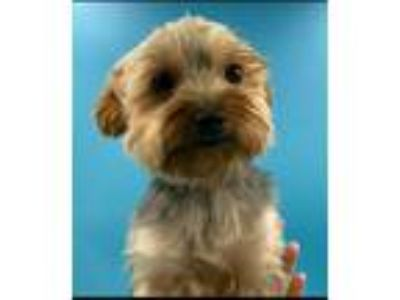 Adopt PENDING-Diamond a Yorkshire Terrier