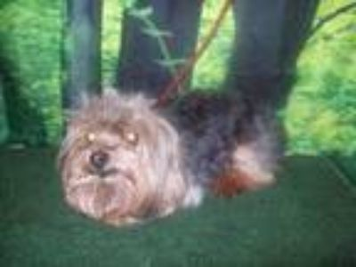 Adopt DIVA a Yorkshire Terrier