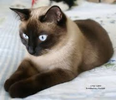 Siamese cat wanted
