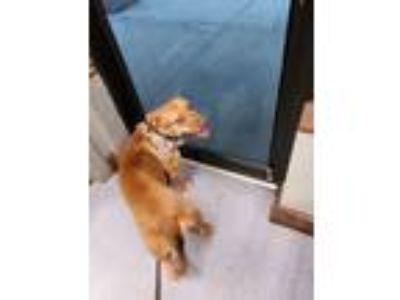 Adopt Nala a Tan/Yellow/Fawn Labrador Retriever dog in Leesburg, FL (25214978)