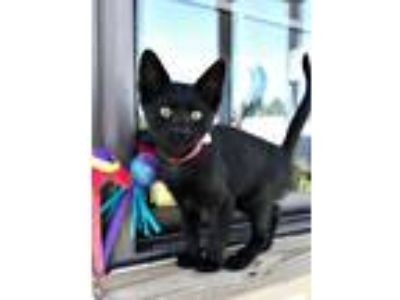 Adopt Westley a Domestic Short Hair