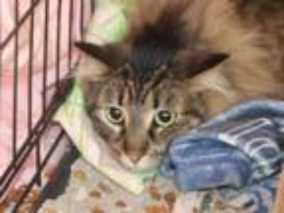 Adopt LUTHER a Brown Tabby Domestic Longhair / Mixed (long coat) cat in Maryland