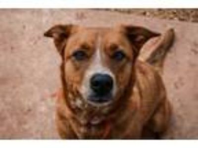 Adopt Laverne a Australian Cattle Dog / Blue Heeler, German Shepherd Dog