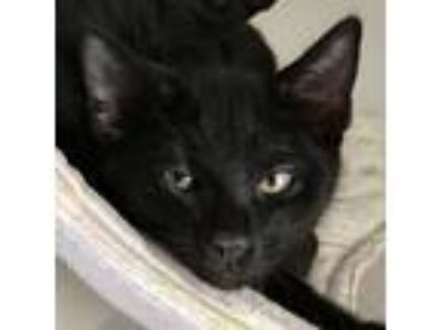 Adopt Jupiter a All Black Domestic Shorthair / Mixed cat in Oakland