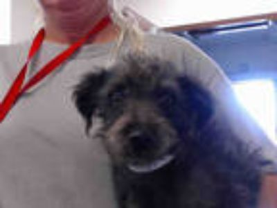 Adopt a Black Poodle (Miniature) / Cairn Terrier / Mixed dog in Phoenix