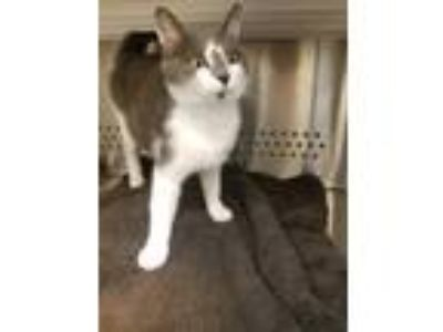 Adopt Toriel a Domestic Shorthair / Mixed cat in Norman, OK (25277563)