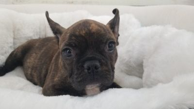 French Bulldog Puppy - Male - Champion ($2199)